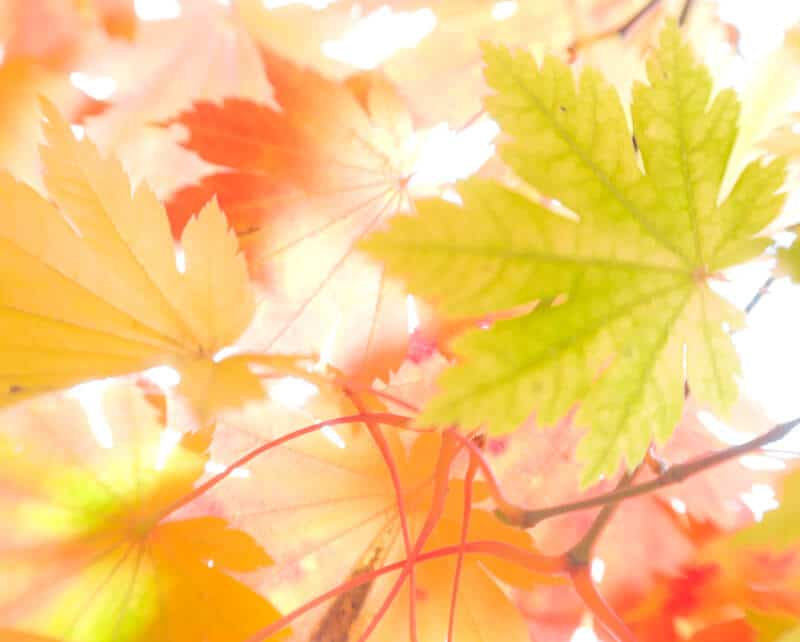 High key photograph of autumnal maple leaves against bright sky